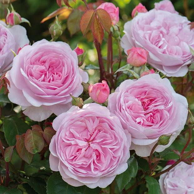 ROSA 'Olivia Rose Austin' (=Ausmixture) (own root), David Austin English Rose