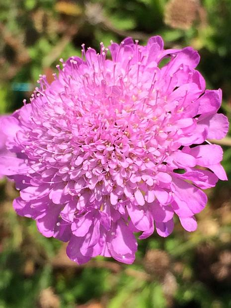 SCABIOSA columbaria 'Pink Mist', Pincushion Flower