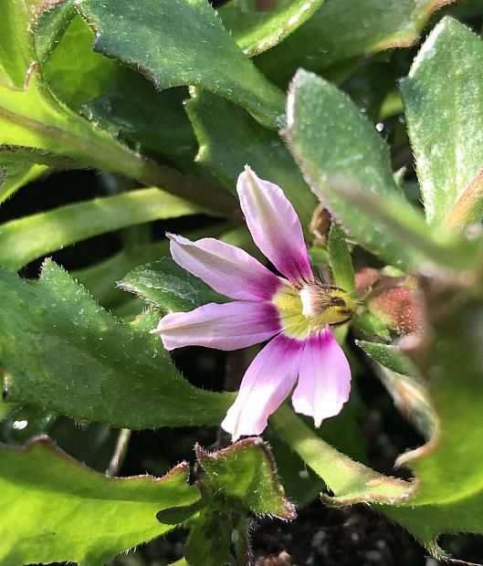 SCAEVOLA aemula 'Whirlwind Pink', Fan Flower