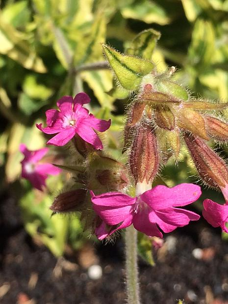 SILENE dioica 'Clifford Moor', Red Campion