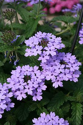 VERBENA hybrid Superbena 'Large Lilac Blue', Superbena Verbena