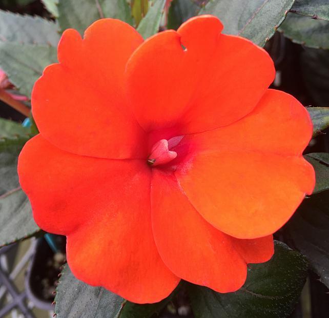 IMPATIENS hawkeri 'Sun Harmony Deep Orange', New Guinea Impatiens